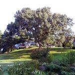 White oak tree in back yard
