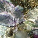 Fan Coral - Belize reef