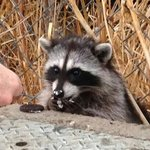 "Local ""tame"" racoon eating a treat"