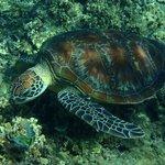 Sea turtle at Hastings Reef