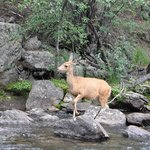Mule deer in the river right outside our cabin door!