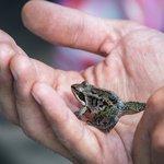 The amazing wood frog