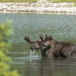 Moose grazing in the lake