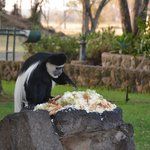 Monkey they leave food out for