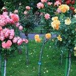 More roses grown as standards