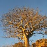 Baobobs everywhere!!!