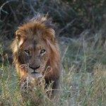 Ein Traum wurde wahr - unsere Begegnung mit dem lion king.