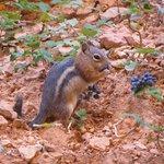 scoiattolo al Bryce