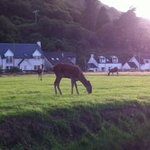 red deer grazing nearby