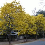 Golden Trumpet  Blossom at Ban Pong