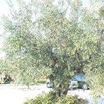 uno dei numerosi ulivi