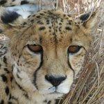 Beautiful cheetah eyes