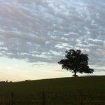 The Lone Oak.