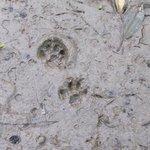 Feline footprints - wild cat
