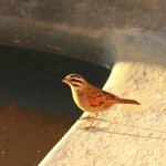 Cape Bunting drinking from the plunge pool of our cottage