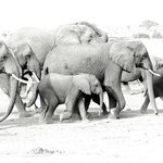 Elephants on march to marshes for water.