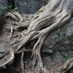 Tree roots along trail