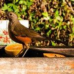 Saíra de laranjeira