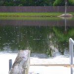petit alligator dans le lac