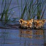 Royal Bengal Tiger Cubs