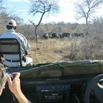 Tracker on Land Rover looking at herd of buffalo