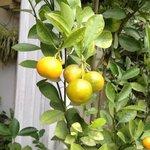 fruit tree in patio area