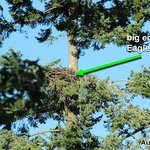Empty eagle's nest in the tree next to the bistro