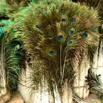 Peacock feathers for sale.