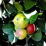 Lovely apples