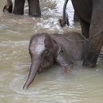 Baby elephant joining the bathing