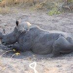 A muddy rhino