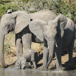 This little ellie was just too cute - he could not use his trunk to drink yet
