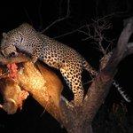 Female leopard tucking in