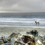 The other day, an elk was on the beach right in front of the ocean view rooms!