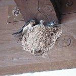 Barn Swallow Feeding Chicks