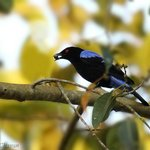 asian blue fairy Male - Clicked from Dining area