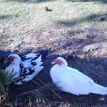 Nesting mama ducks