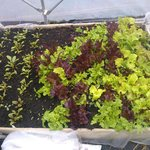 salad leaves in polytunnel