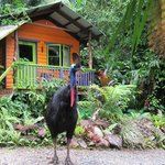 Cassowary visiting Rainforest Hideaway B&B