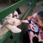 Goats @ Chaidee