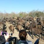 Driving through a herd of Cape Buffalo