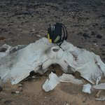 One of the numerous whale skeletons on the nearby beach