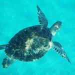 Hawksbill turtle Turtle Beach reef.