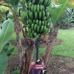 Out in front -- apple bananas :)
