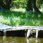 Bluebells by Lancaster Canal Bilsborrow
