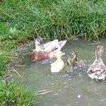 Duckling having their first swim