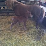 Our newest addition, a filly shetland pony, born Aug 2013