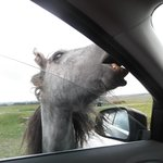 A pony eating our car...