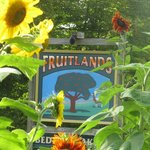 Sunflowers celebrate summer and the coming of fall at Fruitlands.