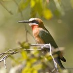 Bee Eater in camp